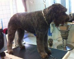 Dog Star - Revel - Toilettage bouvier des flandres
